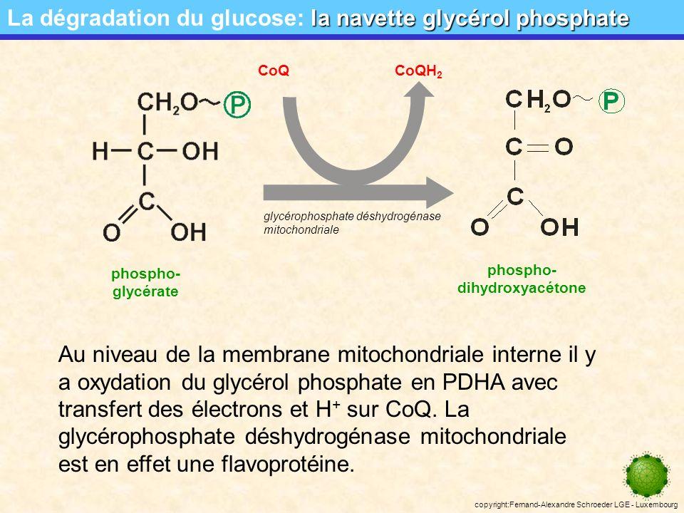 copyright:Fernand-Alexandre Schroeder LGE - Luxembourg la navette glycérol phosphate La dégradation du glucose: la navette glycérol phosphate phospho- glycérate phospho- dihydroxyacétone Le glycérol phosphate peut traverser la membrane mitochondriale externe.