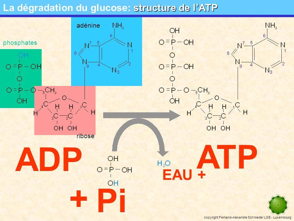 copyright:Fernand-Alexandre Schroeder LGE - Luxembourg la navette malate/aspartate La dégradation du glucose: la navette malate/aspartate malateoxalate NAD + NADH+H + malate déshydrogénase cytosolique et mitochondriale