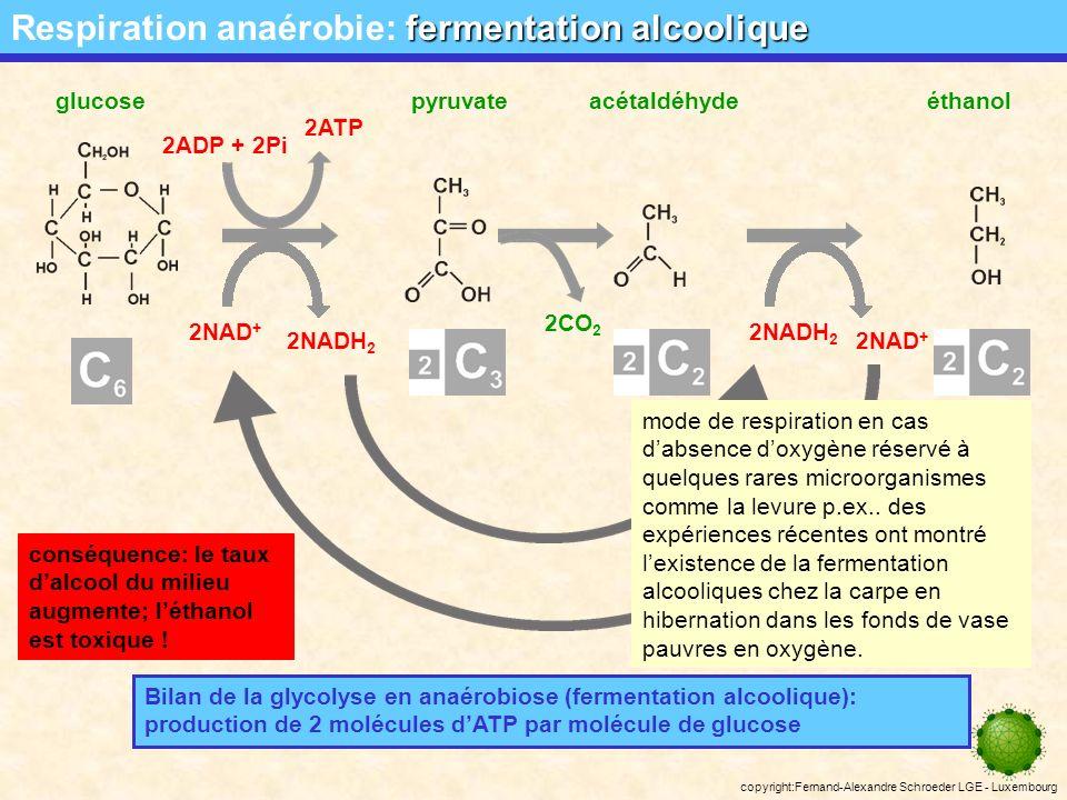 copyright:Fernand-Alexandre Schroeder LGE - Luxembourg fermentation lactique Respiration anaérobie: fermentation lactique glucosepyruvatelactate 2NAD + 2NADH 2 Bilan de la glycolyse en anaérobiose (fermentation lactique): production de 2 molécules dATP par molécule de glucose 2ADP + 2Pi 2ATP 2NAD + 2NADH 2 conséquences: suite au faible rendement énergétique, le substrat est vite consommé, le pH du milieu décroît en plus le lactate est toxique .