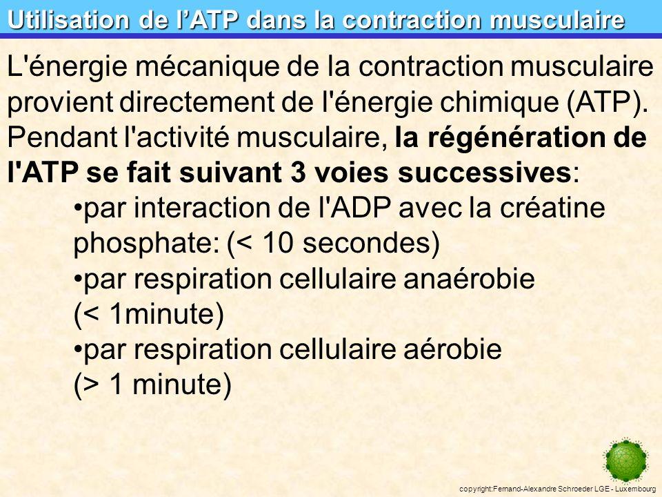 copyright:Fernand-Alexandre Schroeder LGE - Luxembourg bilans énergétiques et rendements Dégradation du glucose: bilans énergétiques et rendements C 6 H 12 O 6 + 6O 2 6CO 2 + 6H 2 O + 38 ATP énergie libre dune mole de glucose: G = -686 kcal/mol énergie libre dune mole dATP: G = -7,3 kcal/mol énergie libre de 38 moles dATP: G = -7,3 * 38 = -277,4 kcal rendement de la respiration:277,4 / 686 = 0,404 ( = 40,4%) (à titre de comparaison: rendement dune voiture: à peu près 25 %) A peu près 60 % de lénergie libre contenue dans une mole de glucose est dissipée sous forme de chaleur.