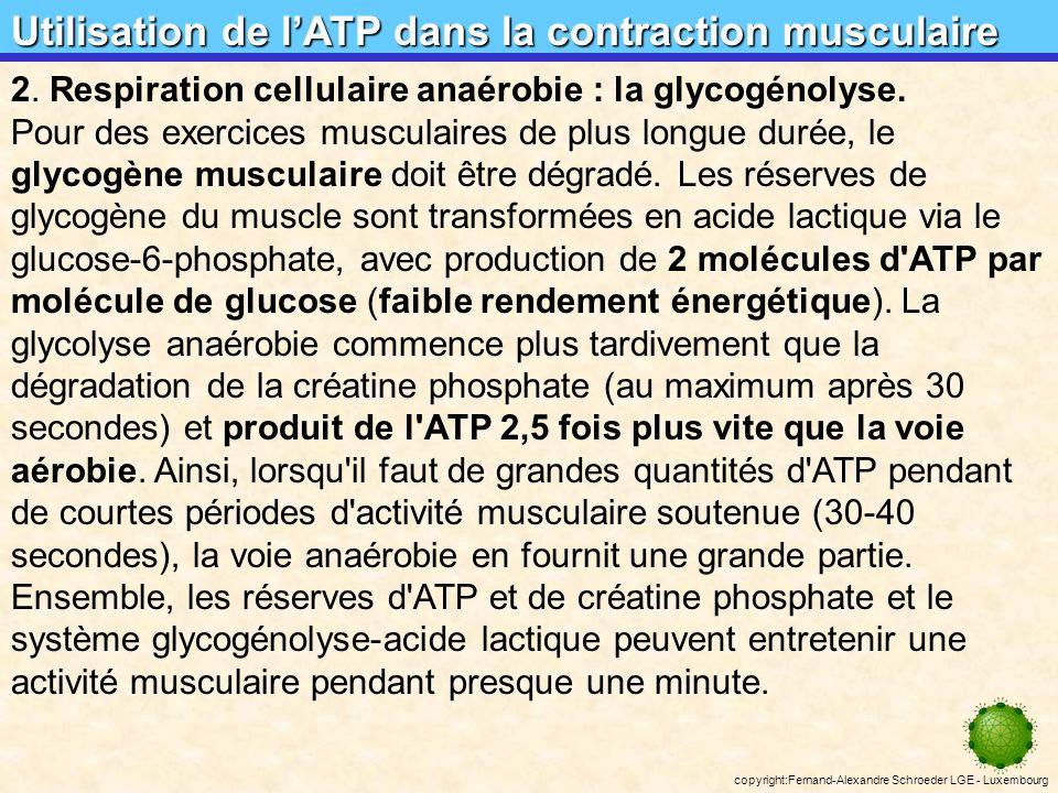 copyright:Fernand-Alexandre Schroeder LGE - Luxembourg Utilisation de lATP dans la contraction musculaire créatine phosphatecréatine ADPATP créatine kinase 1.