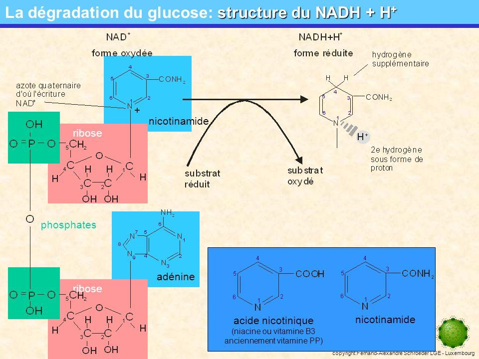 copyright:Fernand-Alexandre Schroeder LGE - Luxembourg structure du NADH + H + La dégradation du glucose: structure du NADH + H + adénine nicotinamide ribose phosphates acide nicotinique (niacine ou vitamine B3 anciennement vitamine PP) nicotinamide