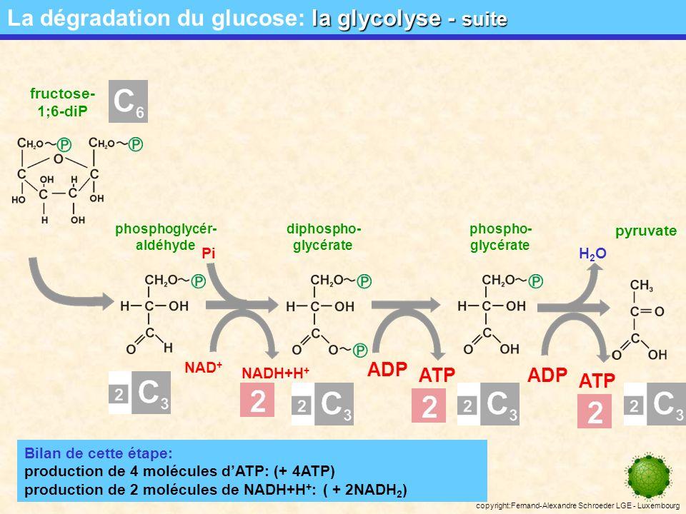 copyright:Fernand-Alexandre Schroeder LGE - Luxembourg ATP ADP fructose- 1;6-diP pyruvate diphospho- glycérate phospho- glycérate ATP ADP H2OH2O NAD + NADH+H + Pi phosphoglycér- aldéhyde la glycolyse - suite La dégradation du glucose: la glycolyse - suite Bilan de cette étape: production de 4 molécules dATP: (+ 4ATP) production de 2 molécules de NADH+H + : ( + 2NADH 2 )