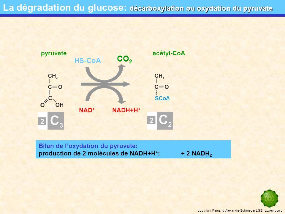 copyright:Fernand-Alexandre Schroeder LGE - Luxembourg Bilan de la glycolyse: consommation de 2 molécules dATP: - 2 ATP production de 4 molécules dATP: + 4 ATP production de 2 molécules de NADH+H + : + 2 NADH 2 production de 2 molécules dATP: 2 ATP production de 2 molécules de NADH+H + : 2 NADH 2 pyruvate la glycolyse – bilan provisoire La dégradation du glucose: la glycolyse – bilan provisoire glucose