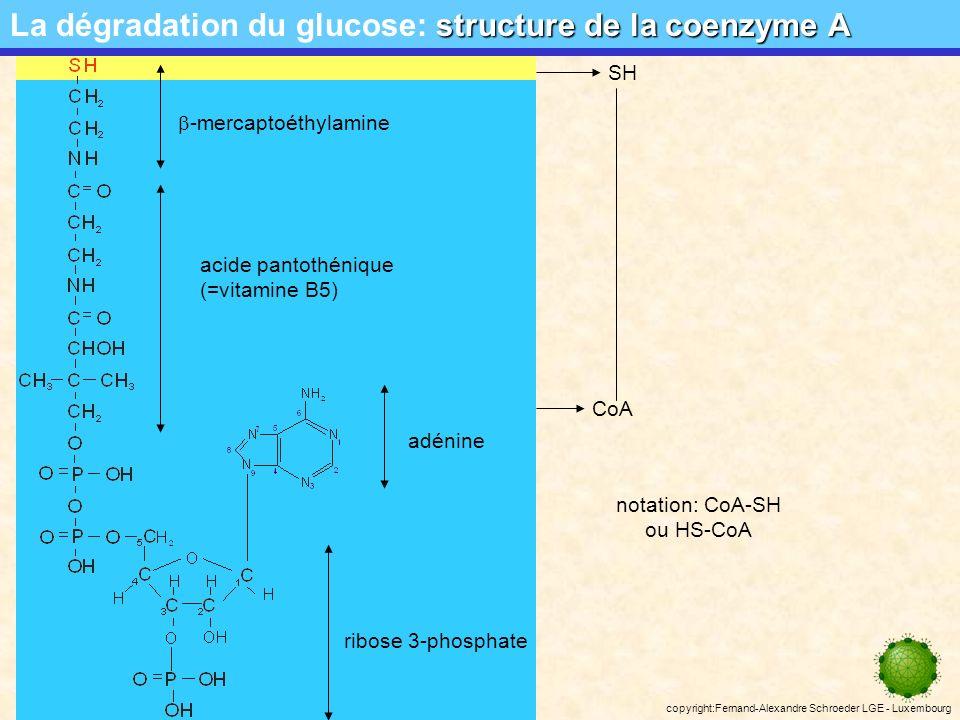 copyright:Fernand-Alexandre Schroeder LGE - Luxembourg CO 2 HS-CoA décarboxylation ou oxydation du pyruvate La dégradation du glucose: décarboxylation ou oxydation du pyruvate NAD + NADH+H + Bilan de loxydation du pyruvate: production de 2 molécules de NADH+H + : + 2 NADH 2 pyruvateacétyl-CoA