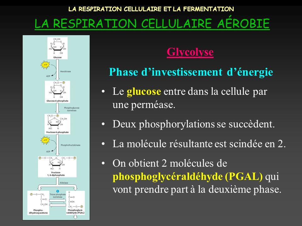 LA RESPIRATION CELLULAIRE ET LA FERMENTATION LA RESPIRATION CELLULAIRE AÉROBIE Phase dinvestissement dénergie Glycolyse Le glucose entre dans la cellu