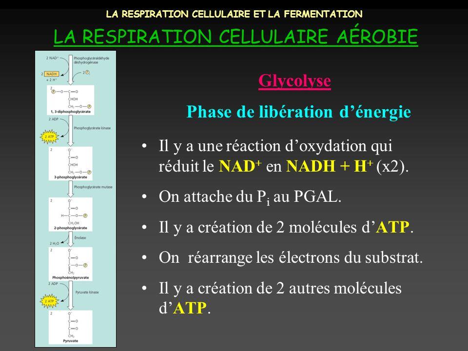 LA RESPIRATION CELLULAIRE ET LA FERMENTATION LA RESPIRATION CELLULAIRE AÉROBIE Phase de libération dénergie Glycolyse Il y a une réaction doxydation q