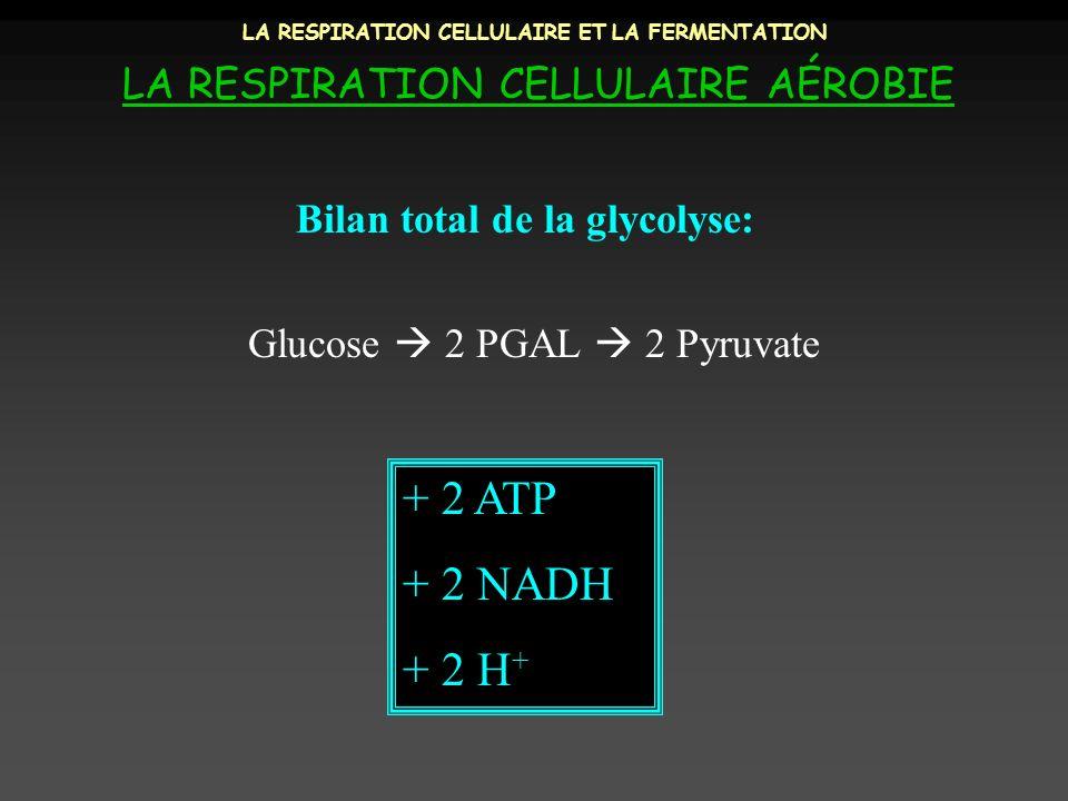 LA RESPIRATION CELLULAIRE ET LA FERMENTATION LA RESPIRATION CELLULAIRE AÉROBIE Bilan total de la glycolyse: + 2 ATP + 2 NADH + 2 H + Glucose 2 PGAL 2