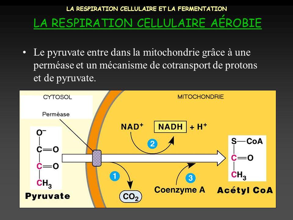 LA RESPIRATION CELLULAIRE ET LA FERMENTATION LA RESPIRATION CELLULAIRE AÉROBIE Le pyruvate entre dans la mitochondrie grâce à une perméase et un mécan