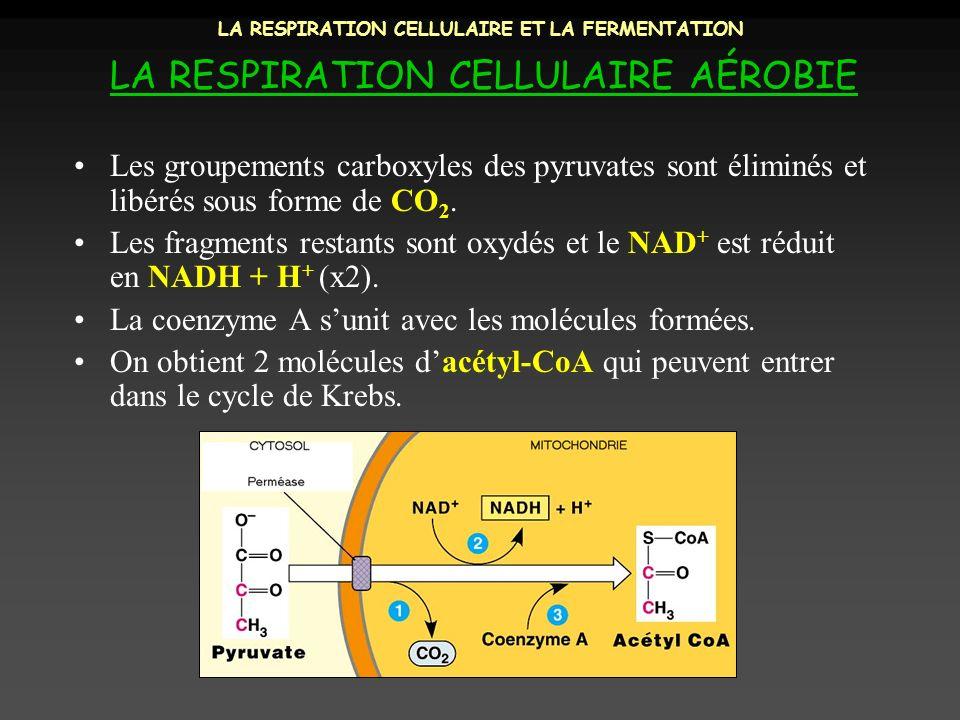 LA RESPIRATION CELLULAIRE ET LA FERMENTATION LA RESPIRATION CELLULAIRE AÉROBIE Les groupements carboxyles des pyruvates sont éliminés et libérés sous