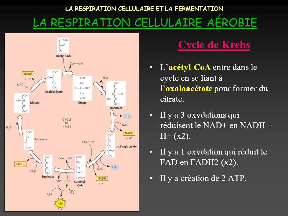 LA RESPIRATION CELLULAIRE ET LA FERMENTATION LA RESPIRATION CELLULAIRE AÉROBIE Lacétyl-CoA entre dans le cycle en se liant à loxaloacétate pour former