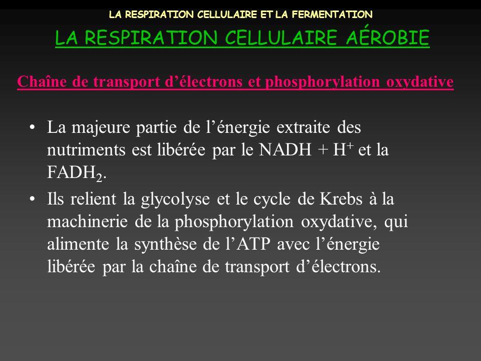 LA RESPIRATION CELLULAIRE ET LA FERMENTATION LA RESPIRATION CELLULAIRE AÉROBIE La majeure partie de lénergie extraite des nutriments est libérée par l