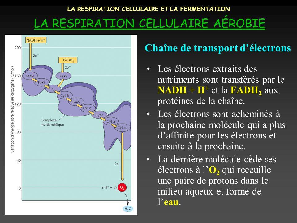 LA RESPIRATION CELLULAIRE ET LA FERMENTATION LA RESPIRATION CELLULAIRE AÉROBIE Les électrons extraits des nutriments sont transférés par le NADH + H +