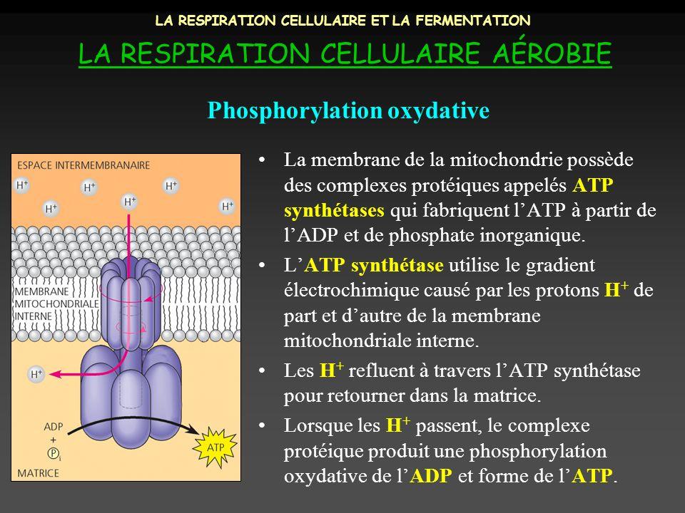 LA RESPIRATION CELLULAIRE ET LA FERMENTATION LA RESPIRATION CELLULAIRE AÉROBIE La membrane de la mitochondrie possède des complexes protéiques appelés