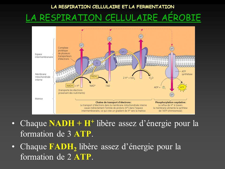 LA RESPIRATION CELLULAIRE ET LA FERMENTATION LA RESPIRATION CELLULAIRE AÉROBIE Chaque NADH + H + libère assez dénergie pour la formation de 3 ATP. Cha