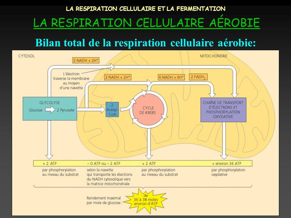 LA RESPIRATION CELLULAIRE ET LA FERMENTATION LA RESPIRATION CELLULAIRE AÉROBIE Bilan total de la respiration cellulaire aérobie:
