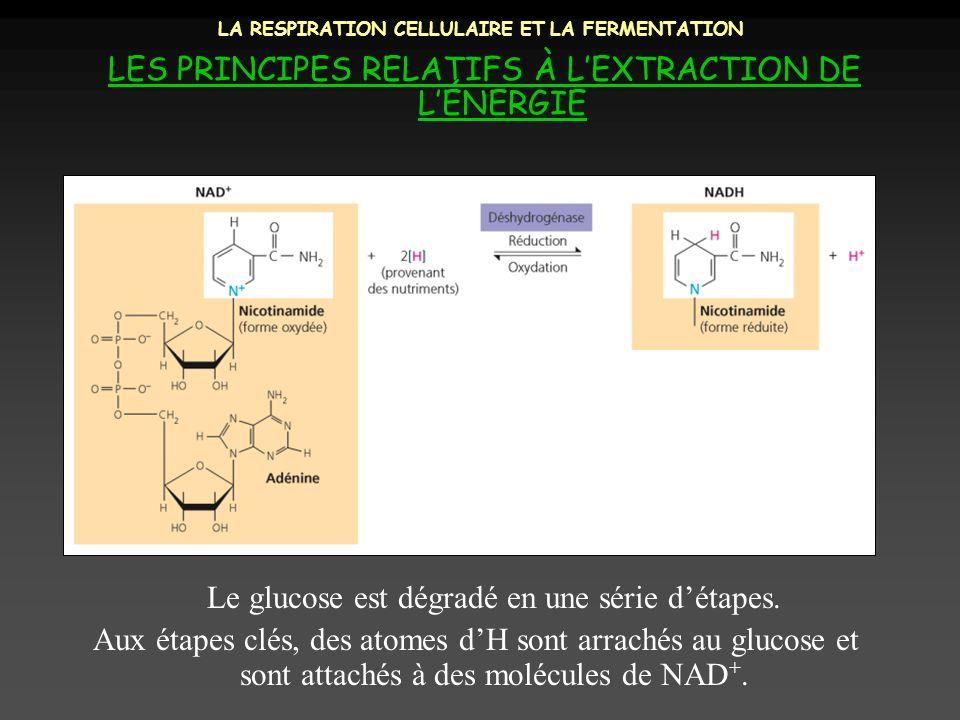 LA RESPIRATION CELLULAIRE ET LA FERMENTATION LES PRINCIPES RELATIFS À LEXTRACTION DE LÉNERGIE Le glucose est dégradé en une série détapes. Aux étapes