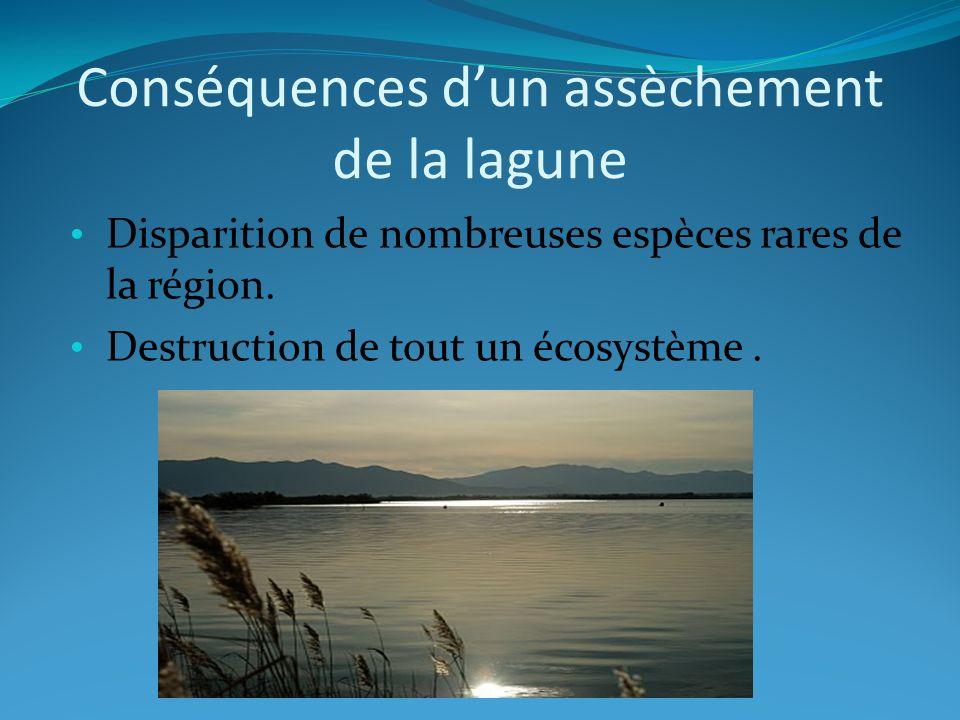 Conséquences dun assèchement de la lagune Disparition de nombreuses espèces rares de la région. Destruction de tout un écosystème.
