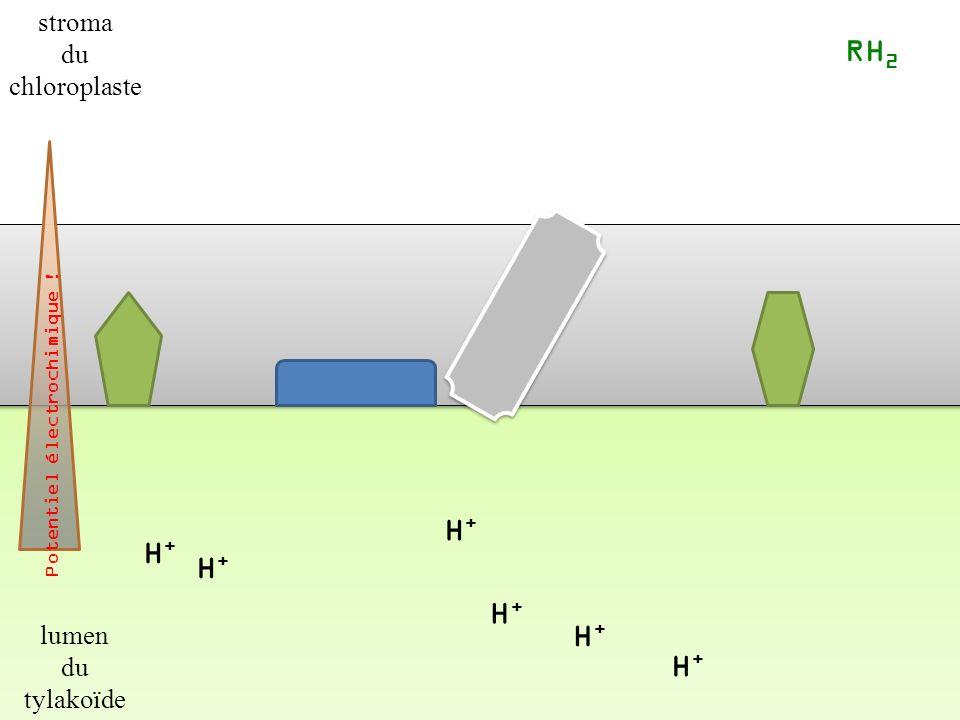 H+H+ H+H+ H+H+ H+H+ RH 2 Potentiel électrochimique .
