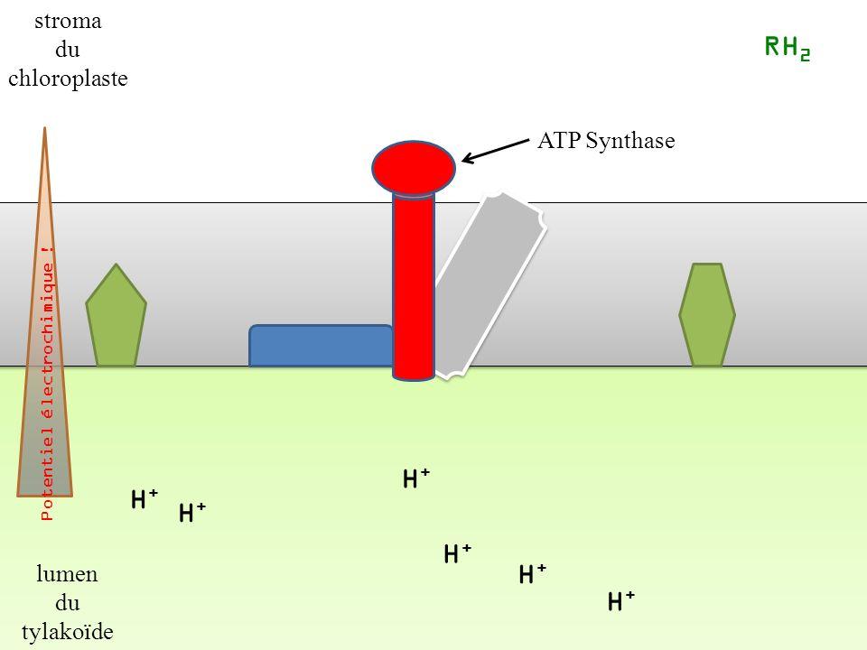 H+H+ H+H+ H+H+ H+H+ RH 2 ATP Synthase Potentiel électrochimique .