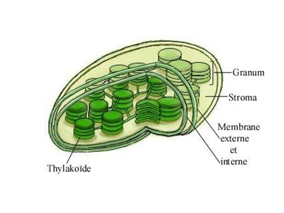 chlorophylle Accepteur délectrons Transporteur de protons H+H+ H+H+ H+H+ H+H+ H+H+ H+H+ membrane du tylakoïde stroma du chloroplaste lumen du tylakoïde