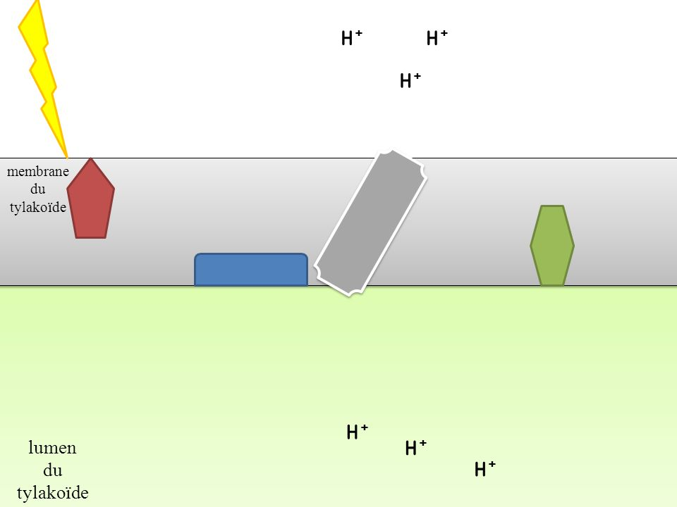 H+H+ H+H+ H+H+ H+H+ H+H+ H+H+ stroma du chloroplaste lumen du tylakoïde 2e-2e- H2OH2O H+H+ ½ O 2 H+H+ 2e-2e-