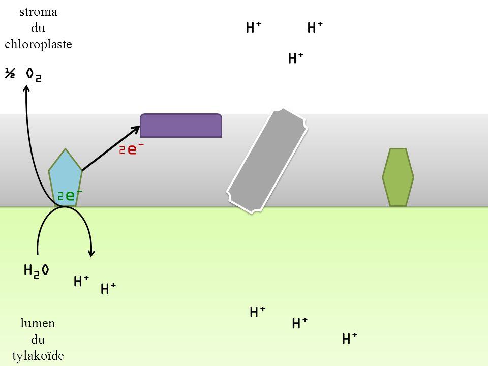 H+H+ H+H+ H+H+ H+H+ H+H+ H+H+ H+H+ membrane du tylakoïde stroma du chloroplaste lumen du tylakoïde H+H+ H+H+ 2e-2e-