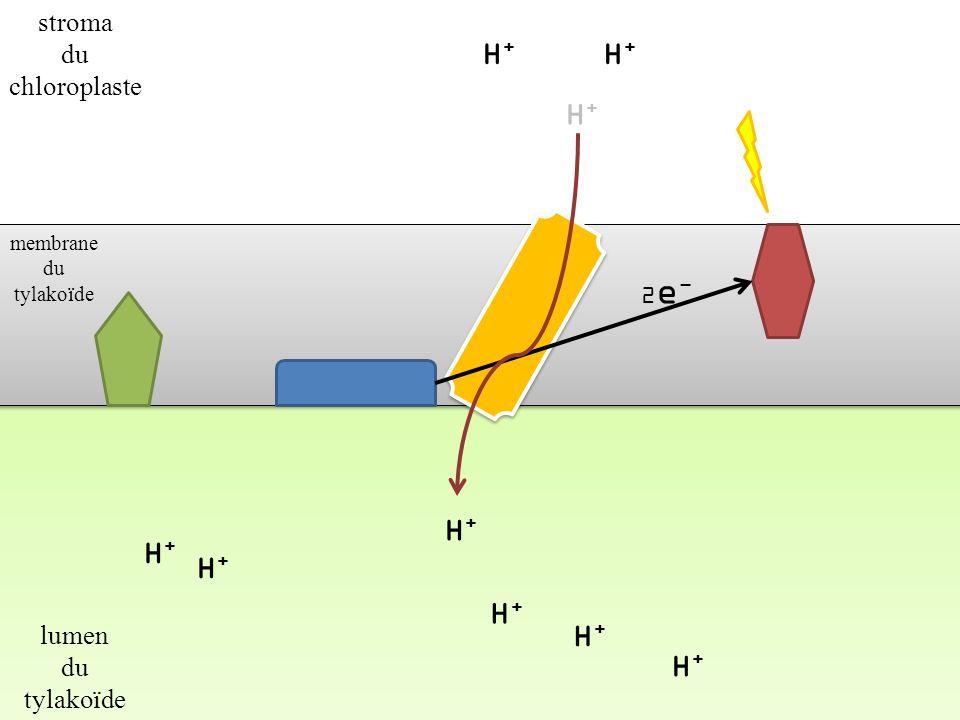H+H+ H+H+ H+H+ H+H+ H+H+ H+H+ R 2e-2e- RH 2 Accepteur « final » délectrons membrane du tylakoïde stroma du chloroplaste lumen du tylakoïde H+H+ H+H+