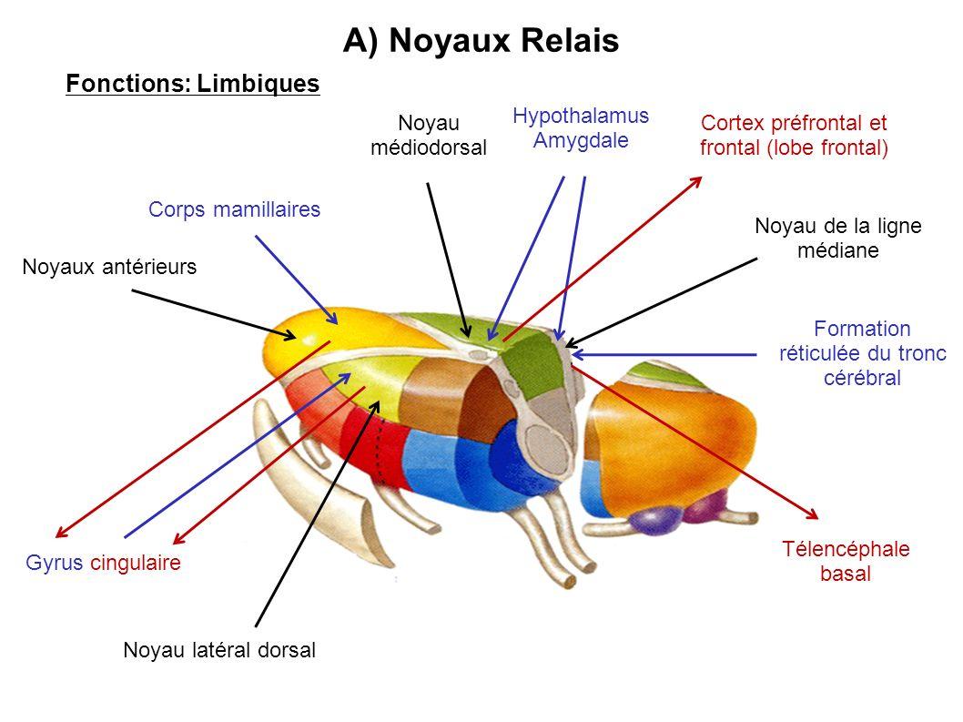 A) Noyaux Relais Fonctions: Limbiques Noyaux antérieurs Noyau latéral dorsal Noyau médiodorsal Noyau de la ligne médiane Hypothalamus Amygdale Formati
