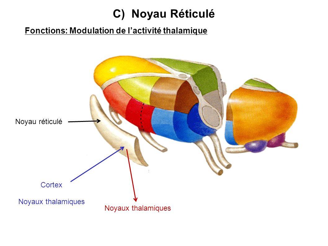 C) Noyau Réticulé Fonctions: Modulation de lactivité thalamique Noyau réticulé Cortex Noyaux thalamiques