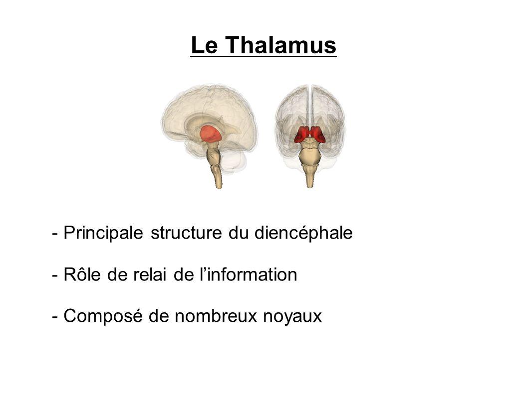 Le Thalamus - Principale structure du diencéphale - Rôle de relai de linformation - Composé de nombreux noyaux