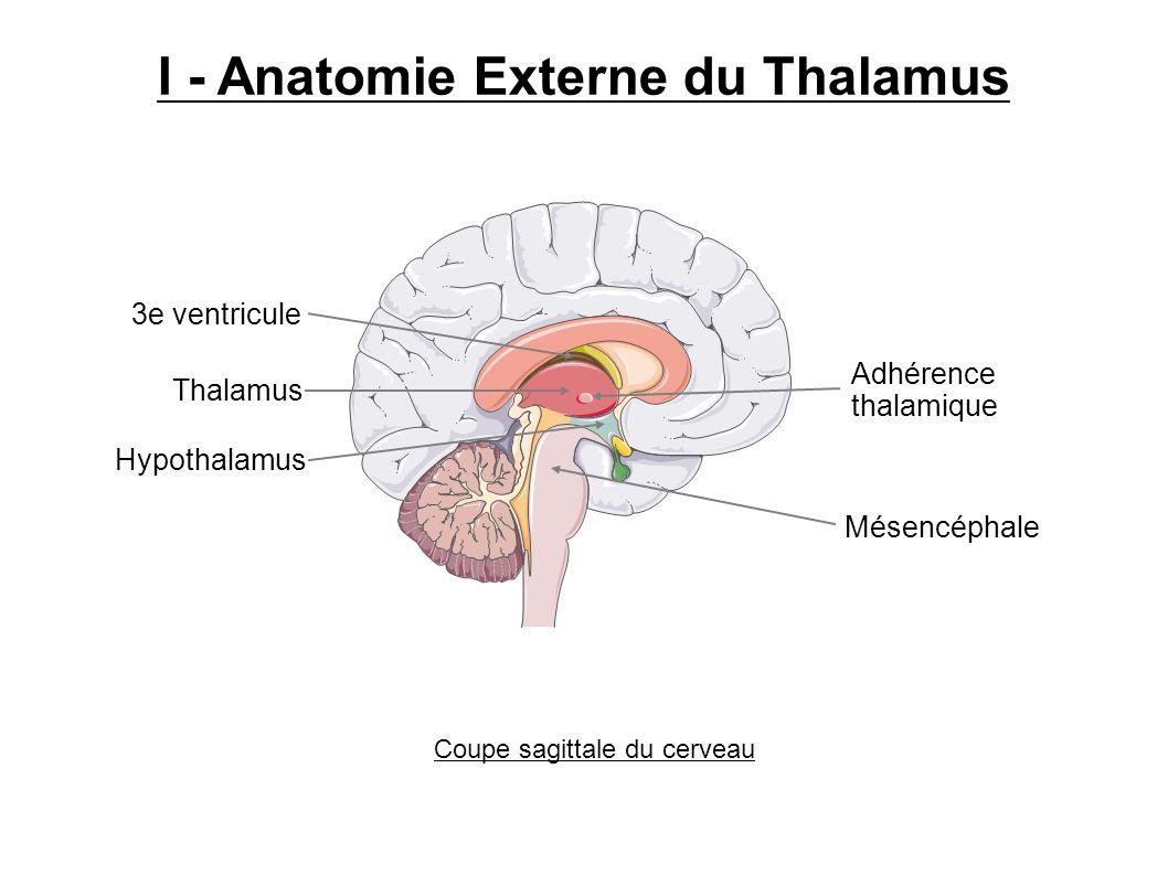 I - Anatomie Externe du Thalamus Thalamus Hypothalamus 3e ventricule Mésencéphale Coupe sagittale du cerveau Adhérence thalamique