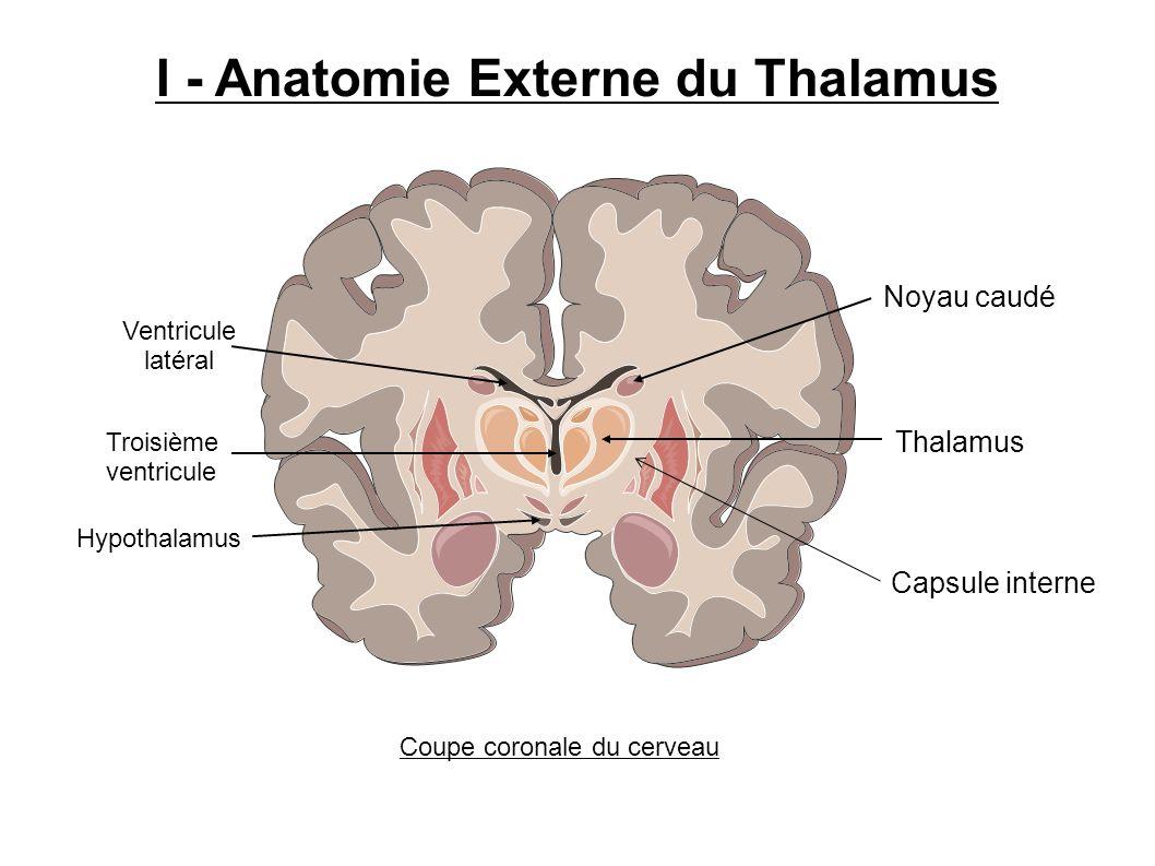 Thalamus Noyau caudé Troisième ventricule Hypothalamus Ventricule latéral I - Anatomie Externe du Thalamus Coupe coronale du cerveau Capsule interne