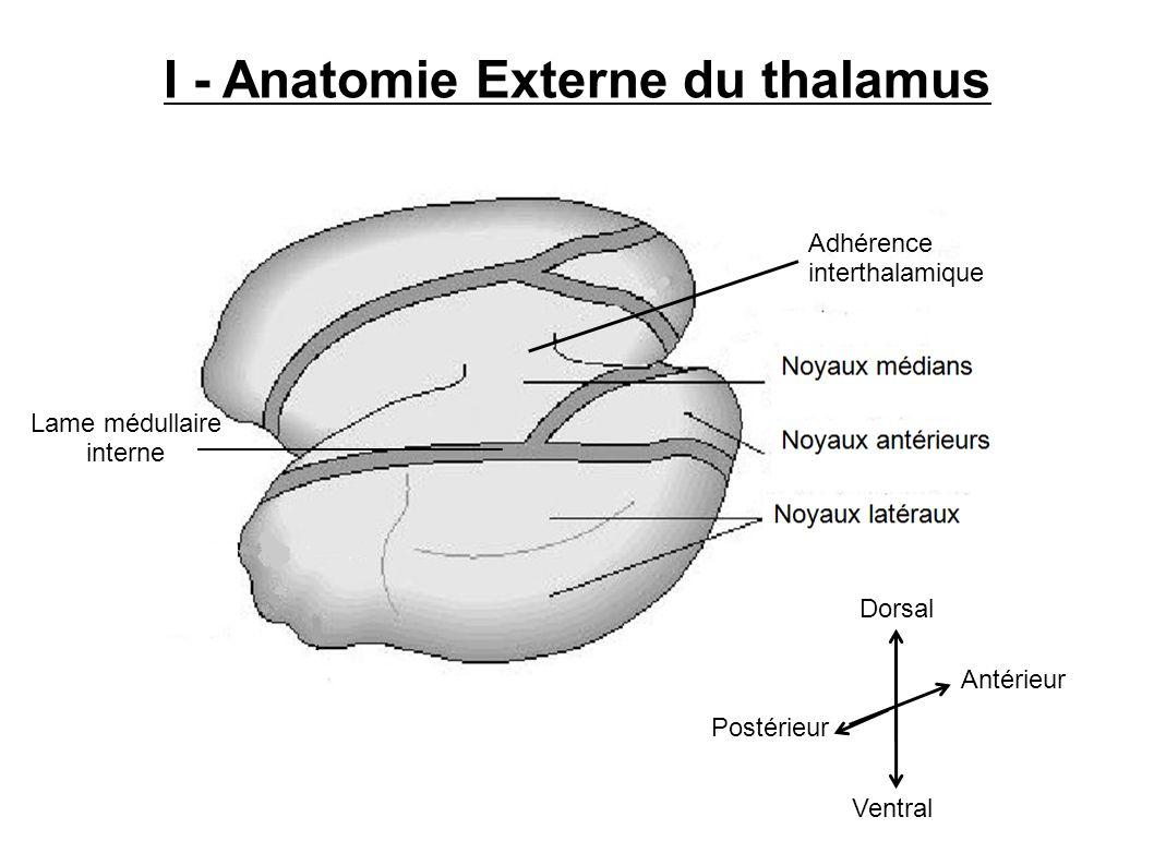 Antérieur Postérieur Dorsal Ventral I - Anatomie Externe du thalamus Lame médullaire interne Adhérence interthalamique
