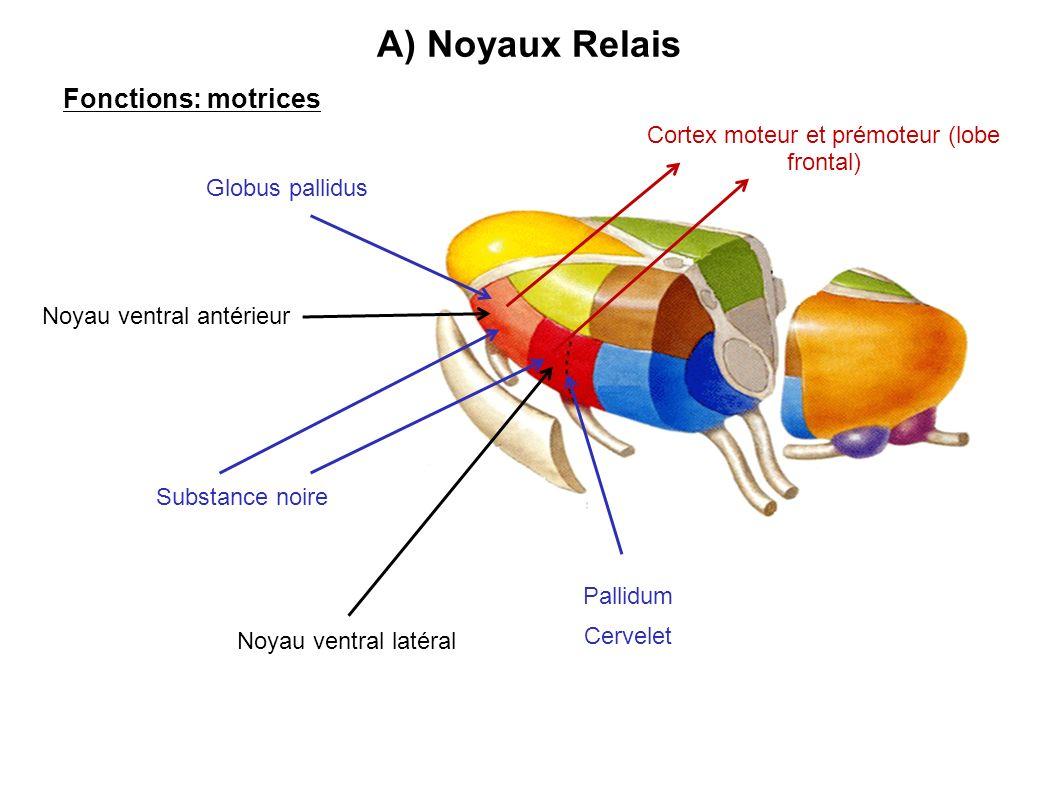 A) Noyaux Relais Fonctions: motrices Noyau ventral antérieur Noyau ventral latéral Substance noire Globus pallidus Pallidum Cervelet Cortex moteur et