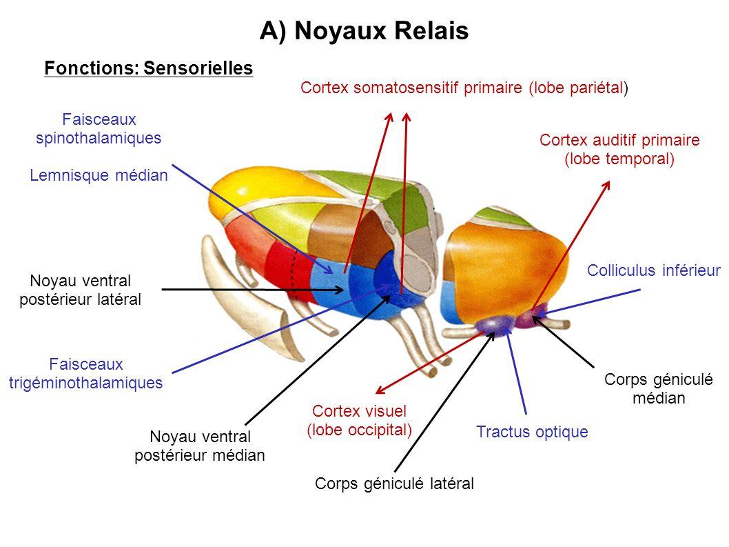 Fonctions: Sensorielles Noyau ventral postérieur médian Noyau ventral postérieur latéral Corps géniculé médian Corps géniculé latéral A) Noyaux Relais