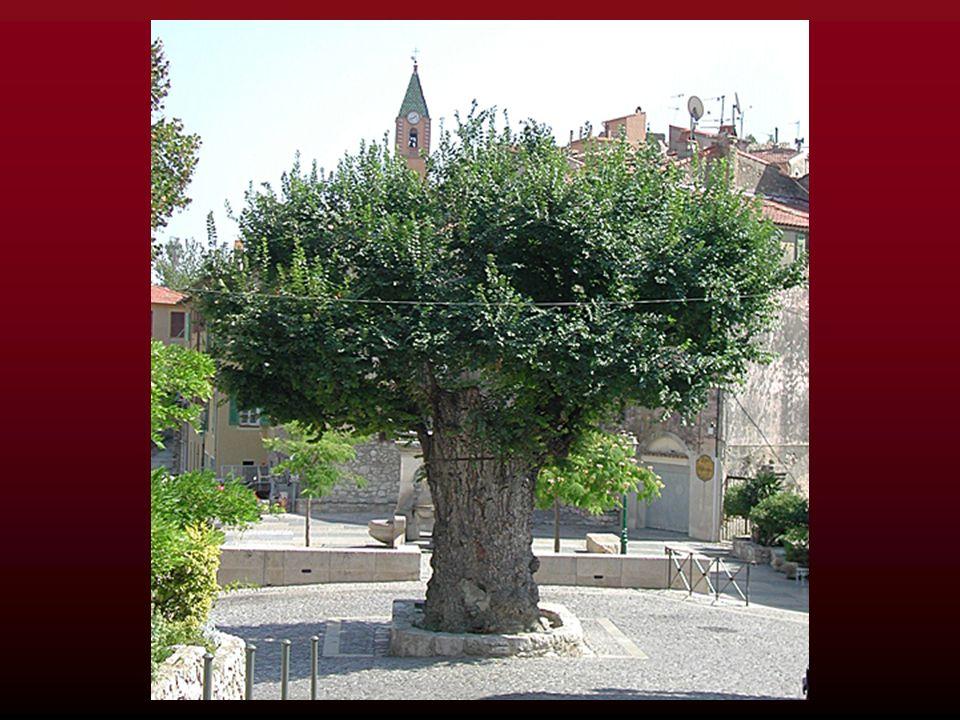 Lassociation A.R.B.R.E.S. ( a classé lorme de Gorbio parmi les deux cents arbres remarquables de France. ( Arbres Remarquables: Bilan, Recherche, Étud