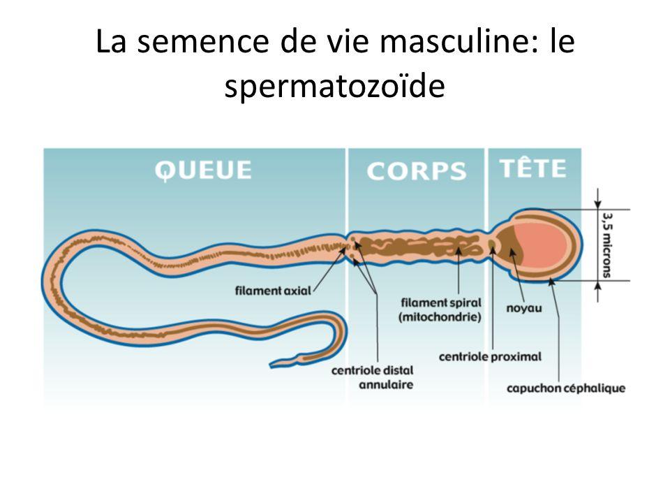 La semence de vie masculine: le spermatozoïde