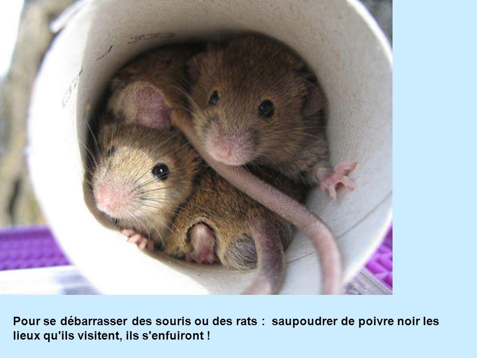 Pour se débarrasser des souris ou des rats : saupoudrer de poivre noir les lieux qu'ils visitent, ils s'enfuiront !