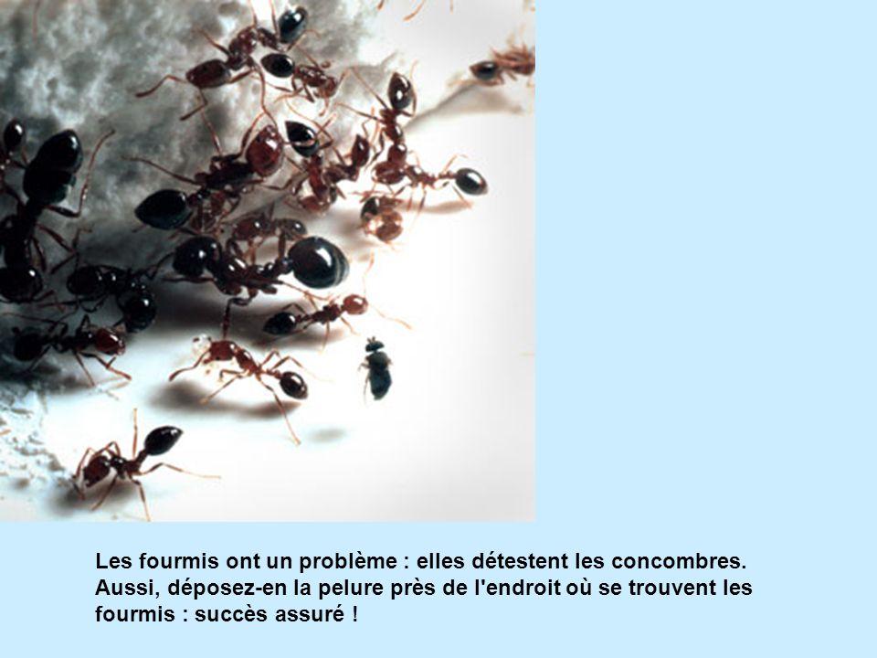 Les fourmis ont un problème : elles détestent les concombres. Aussi, déposez-en la pelure près de l'endroit où se trouvent les fourmis : succès assuré