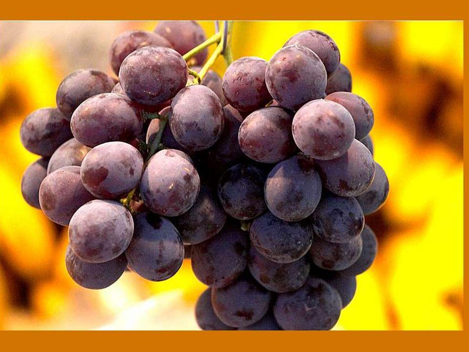 Dieu n a pas voulu que le noble vin se perde ; C est pourquoi il ne nous donne pas que la vigne, mais également la noble soif.