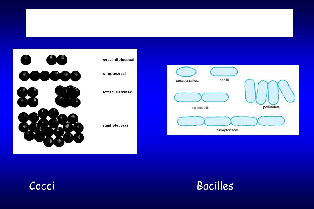 Morphologie CocciBacilles