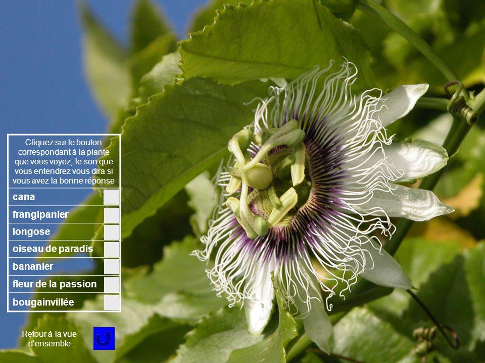 Fleur 5 Cliquez sur le bouton correspondant à la plante que vous voyez, le son que vous entendrez vous dira si vous avez la bonne réponse cana frangipanier longose oiseau de paradis bananier fleur de la passion bougainvillée Retour à la vue densemble