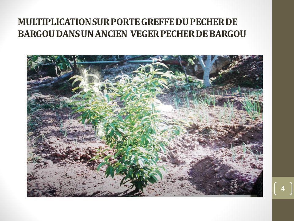 MULTIPLICATION SUR PORTE GREFFE DU PECHER DE BARGOU DANS UN ANCIEN VEGER PECHER DE BARGOU 4
