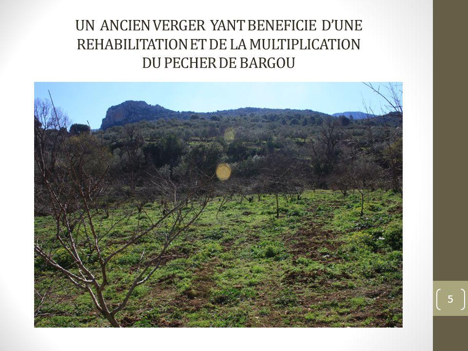 REHABILITATION ET MULTIPLICATION DU PECHER DE BARGOU CLONE KHADHRI( PRODUIT DE TERROIR)