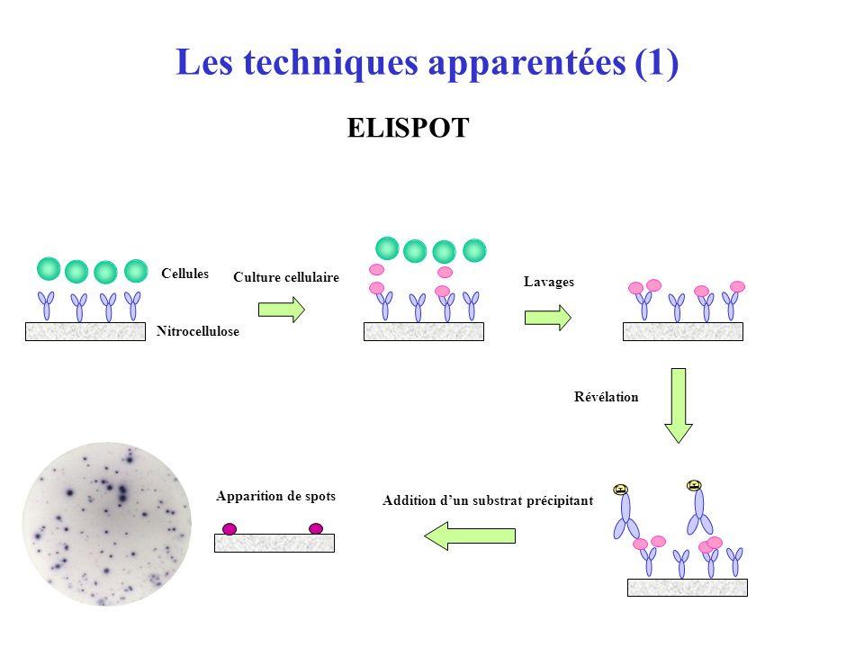 Coating de lantigène (IgG de lapin) Addition de lanticorps marqué avec la PAL Addition de lanticorps marqué à la biotine S P S P Addition du mélange C