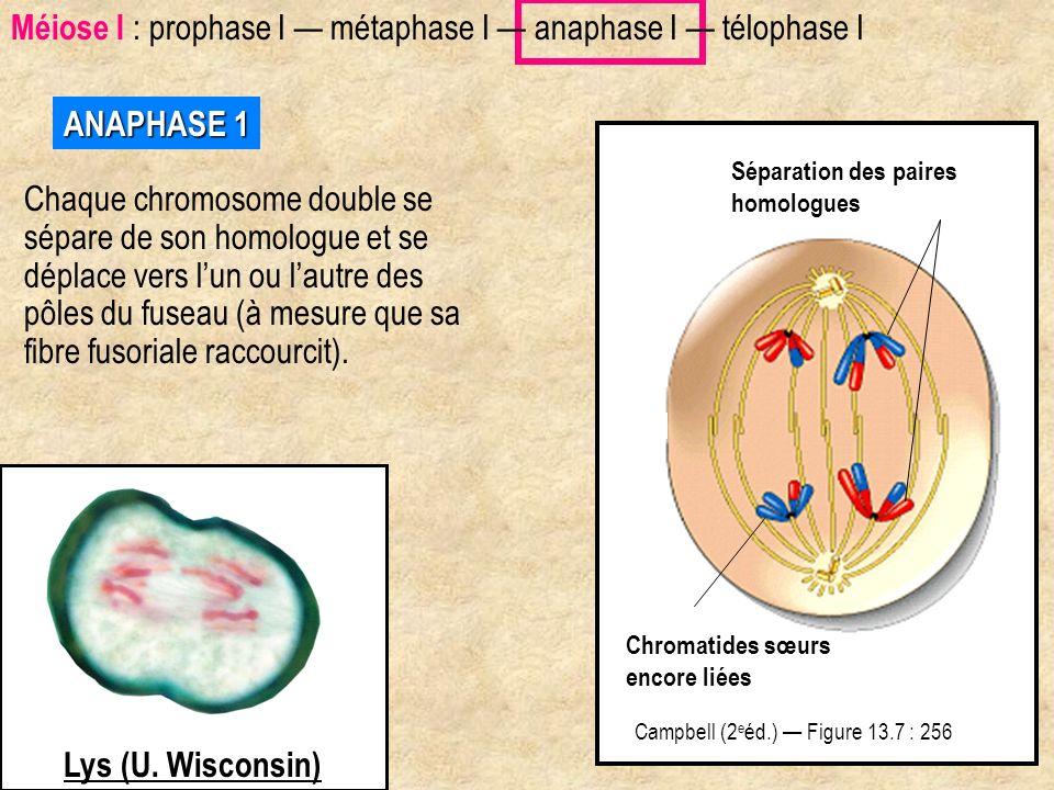 Microtubule kinétochorien ANAPHASE 1 Chaque chromosome double se sépare de son homologue et se déplace vers lun ou lautre des pôles du fuseau (à mesur