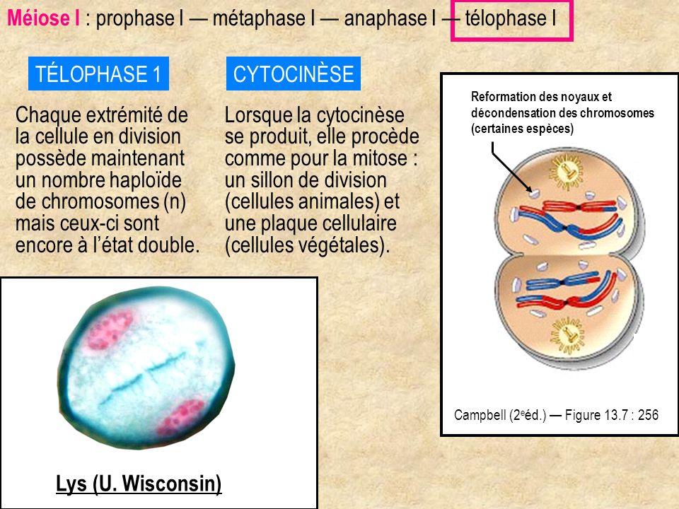 TÉLOPHASE 1 Chaque extrémité de la cellule en division possède maintenant un nombre haploïde de chromosomes (n) mais ceux-ci sont encore à létat doubl