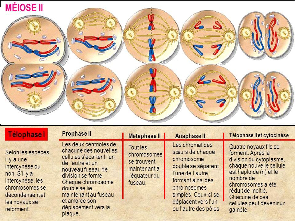 Prophase II Les deux centrioles de chacune des nouvelles cellules sécartent lun de lautre et un nouveau fuseau de division se forme. Chaque chromosome