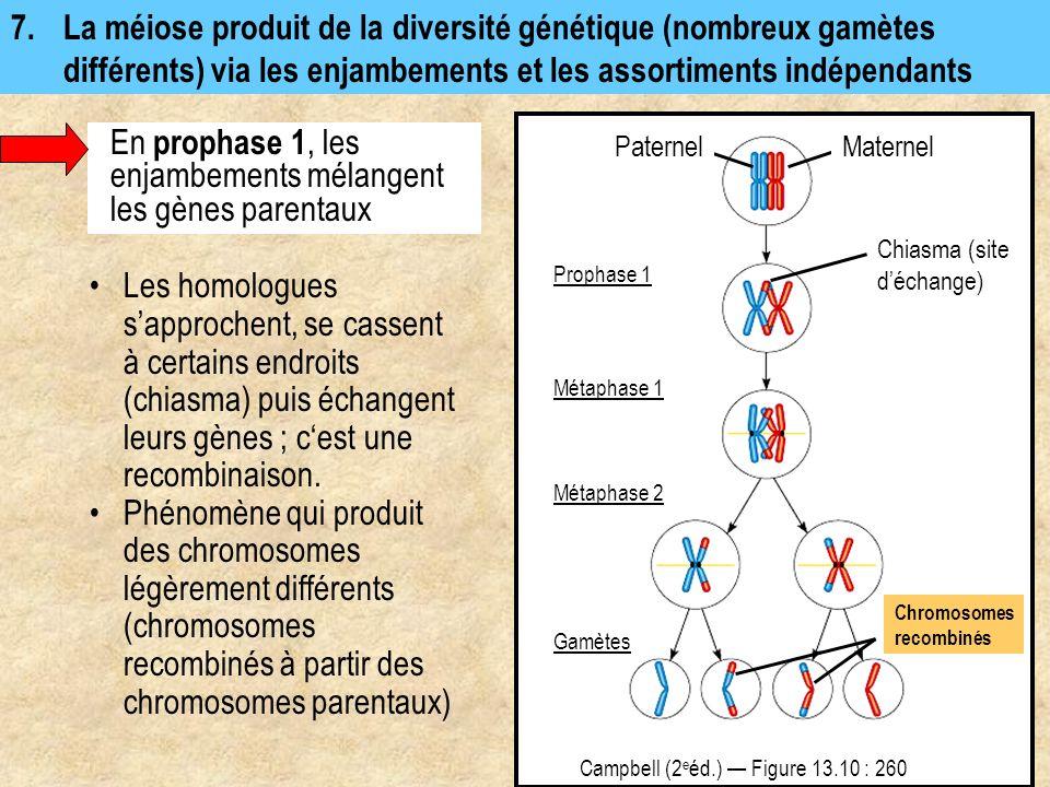 7.La méiose produit de la diversité génétique (nombreux gamètes différents) via les enjambements et les assortiments indépendants Campbell (2 e éd.) F